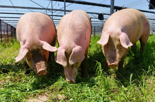 屠宰场,养殖场,病死猪